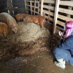 photographer pigs