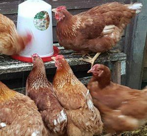 laying hens photo