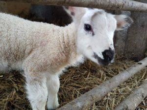 cute lamb
