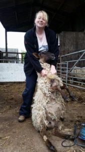 novice sheep shearing