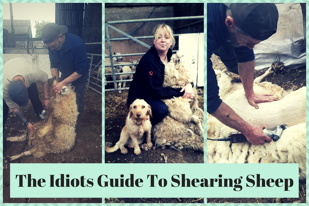 idiot sheep shearing