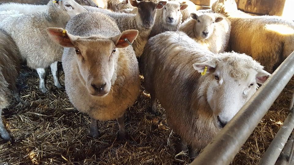 my flock of sheep