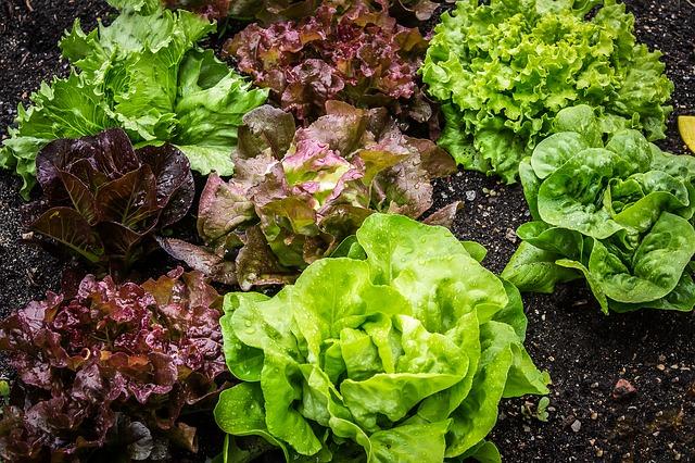 growing lettuce - starting a vegetable garden