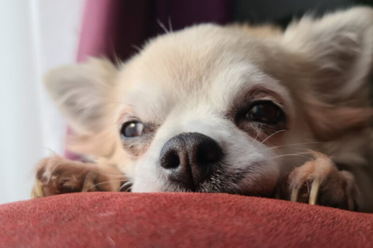 Vital Ways To Care For An Ageing Dog